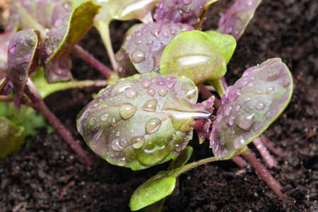 Young fresh sprouts of purple basil plant spicy fragrant greens in a garden bed close-up macro photography Stock Photo