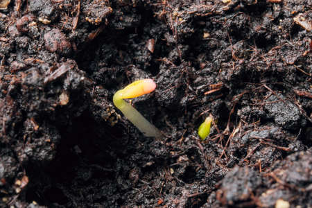 Small sprouts of plants on peat soil close-up macro photography Stock Photo