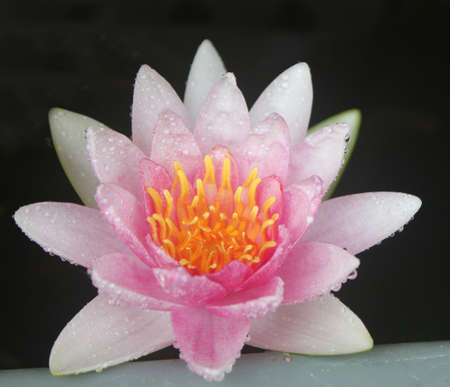 Pink lotus isolated on black. Stock Photo