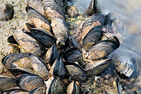 Sea waves hitting wild mussels on rocks.