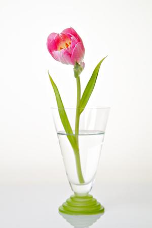 Fresh pink tulip flower on vase. Minimalist floral still life