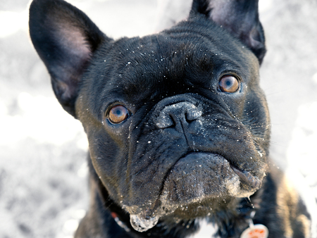 Cute black french bulldog looking up to camera with sand in its head