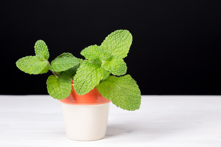 Peppermint isolated on white background. Mentha rotundifolia