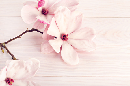 Magnolia soulangeana flower on white wooden background. Copy space for text