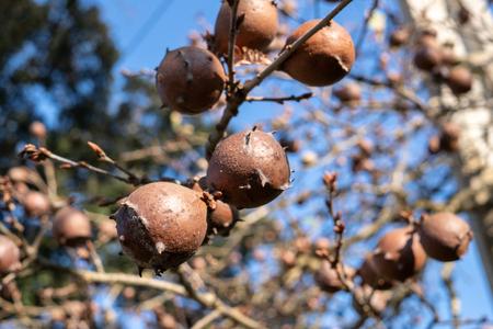 Oak Galls on oak branch. Blue sky background