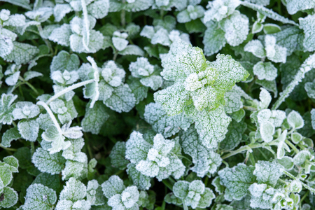 Winter nature background with leaves of wild peppermint covered with white hoar frost and ice crystal formation