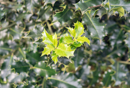 Holly leaves growing on a evergreen tree in the wintertime. Natural background. Aquifoliaceae Stock Photo