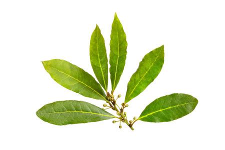 Fresh bay laurel leaves isolated on white background. Laurus nobilis