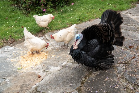 Male turkey and three white hens eating on outdoor Foto de archivo - 122303448