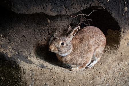 Scene of a wild rabbit in a burrow. Oryctolagus cuniculus