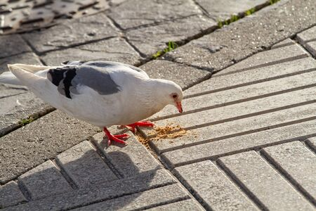 White dove eating a cookie on city sidewalk. Outdoor Stock Photo