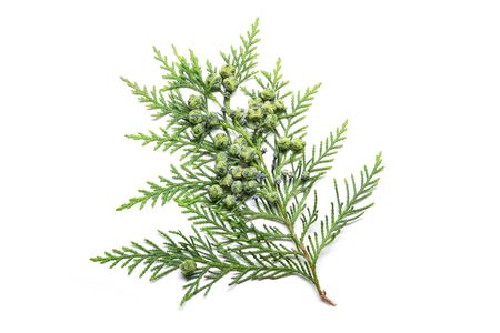 Cypress twig with growing cones isolated on white background. Cupressus Banque d'images