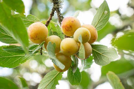 Yellow plum mirabelle fruit growing on tree. Prunus domestica on outdoor