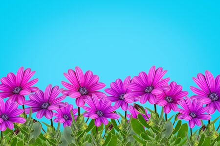 Flower background with colorful daisy flower isolated on blue background. Copy space Stok Fotoğraf