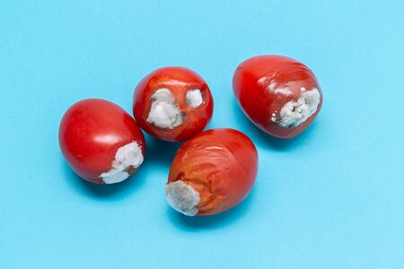 rotten tomatoes isolated on a blue background. Growing mold. Food contamination