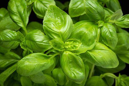 Fresh basil herb close up. Ocimum basilicum Stock fotó