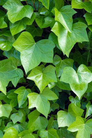 Bright green ivy background.Hedera helix Фото со стока