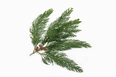 Cypress twig with dry cones isolated on white background. Cupressus Stock Photo