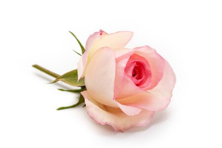 Pink rose isolated on white background. Love concept