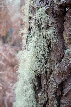 Lichen on pine tree on autumn time. Evernia prunastri also known as oakmoss