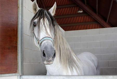Beautiful white horse on stall. Spanish purebred