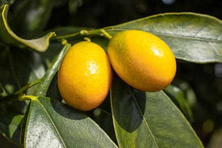 Kumquat fruit growing on tree. Citrus japonica 版權商用圖片