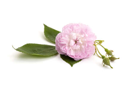 Pink rose flower isolated on white background. Rosa chinensis