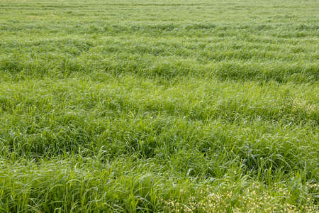 Green grass of a agricultural field on sunny day. Pastures for animal food background
