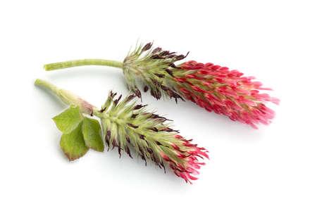 Crimson clover flower head isolated on white background. Trifolium incarnatum L