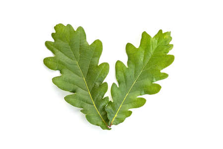 Young oak leaves isolated on white background. Quercus leaf 版權商用圖片