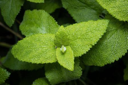 Fresh Wild mint growing. Mentha longifolia. Close up 版權商用圖片