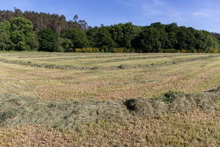 Curving swaths of freshly mowed green grass for silage on the agricultural field. Pastures for animal food