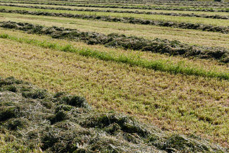 Swaths of freshly mowed green grass for silage on the agricultural field. Pastures for animal food