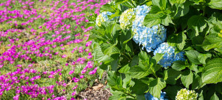 Blue Hydrangea and pink Lampranthus flowers at background. Colorful Gardening background 版權商用圖片
