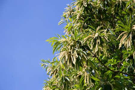 Beautiful Chestnut Tree in Full Bloom on blue sky. Copy space