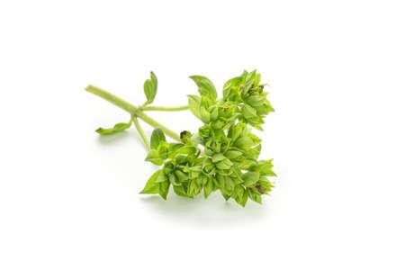 Fresh green oregano leaves isolated on white background. Origanum vulgare