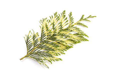 Fresh Thuja or cypress Twig with a variety of green colors Isolated On White background. Thuja occidentalis