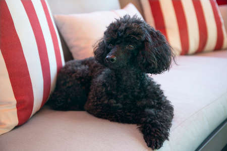 Beautiful black Toy Poodle resting on a outdoor sofa 版權商用圖片