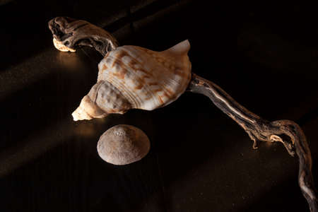 Marine still-life with conch, limpet and worn out stick