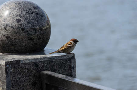 aciculum: A sparrow on the marble columns at the river Stock Photo