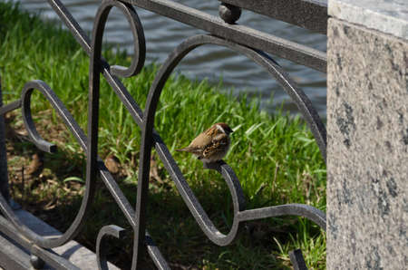 aciculum: Sparrow sitting on the fence watching the river