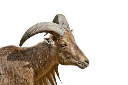 Markhor Goat Head Close Up Photo