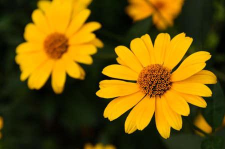 Yellow flowers of pyrethrum Anatsytslus photo