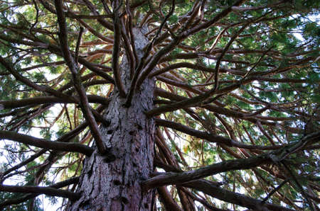 many branches: Lush green foliage pine whith many branches