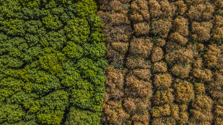Aerial view Rubber tree forest, Top view of rubber tree and rubber leaf plantation. 版權商用圖片