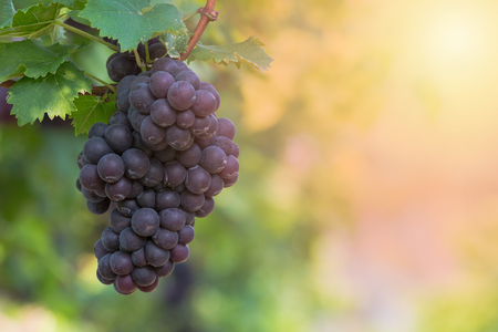 Red wine grapes background,  Vineyards at sunset, grape harvest, vineyard. Stock Photo