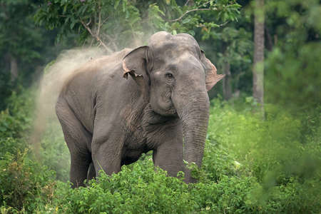 subspecies: Indian Elephant Charging Stock Photo
