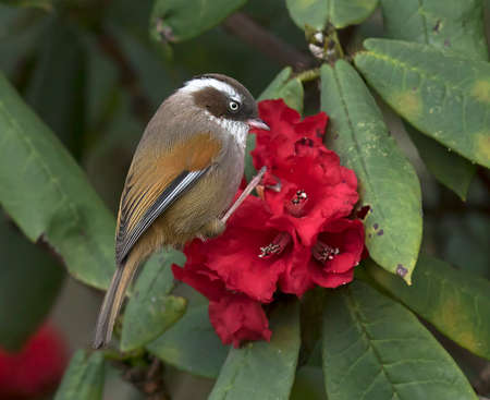 dweller: White-browed Fulvetta on Rhododendron Stock Photo