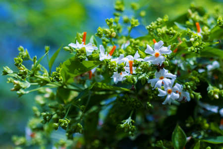 selective focus of Night-flowering jasmine,Indian name is sheuli flower. Banco de Imagens