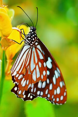 A beautiful butterfly on a fresh spring morning sitting on a wild flower in butterfly garden.